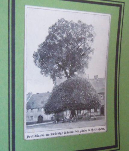 Die Linde in Geisenheim - Deutsche Bäume  -Grafik Alte Stiche um 1900    G 97