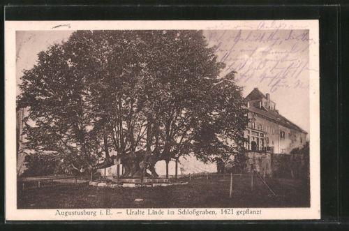 alte AK Augustusburg, Uralte Linde im Schloßgarten, 1421 gepflanzt
