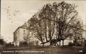 Ak Augustusburg im Erzgebirge, Die uralte verkehrt gepflanzte Linde - 1652422