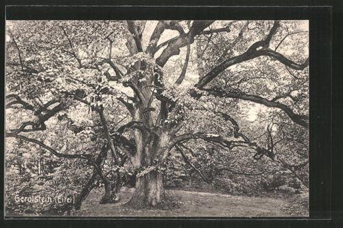 AK Gerolstein, Gerolsteiner Linde, Baum diente im Jahr 13166 als Gerichtslinde