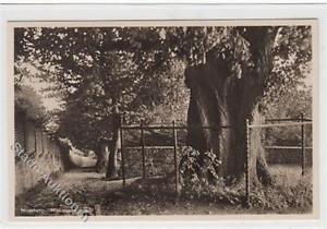 39090391 - Blomberg. historische Linde ungelaufen  Gute Erhaltung.