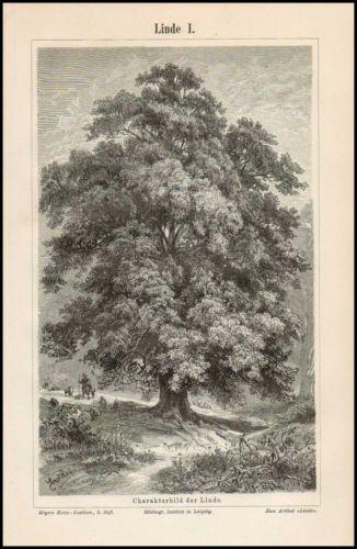 Stich Linde Winterlinde Tilia cordata Charakterbild Blüte Samen 1895 Original