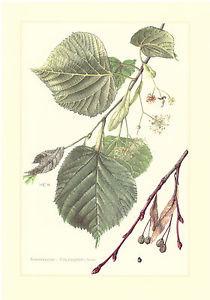 Sommerlinde   -  Tilia platyphyllos    -  großblättrige Linde     Farbdruck 1958