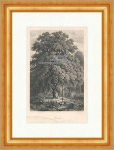 Linde Laubbaum Malvengewächse Lindenblüten Bach Brücke Der Wald Originale 017