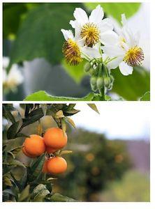 * zwei wunderbare Schönheiten für drinnen: Zimmerlinde und Mandarinenbaum !