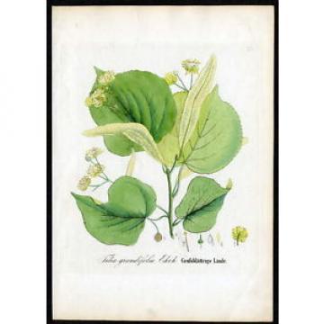 1860 DIETRICH - FORSTPFLANZEN Großblättrige Linde – Tilia grandifolia #125
