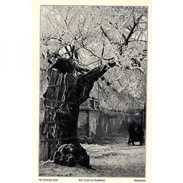 A. Deininger Alte Linde im Rauchfrost Schönefeld Photo-  Kunstdruck von 1906