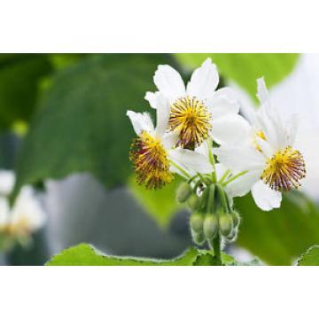 Pflanzen Samen Terrasse Balkon Garten Exoten Sämereien Blume ZIMMERLINDE