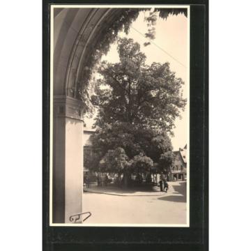 tolle Foto-AK Geisenheim, 600jährige Linde