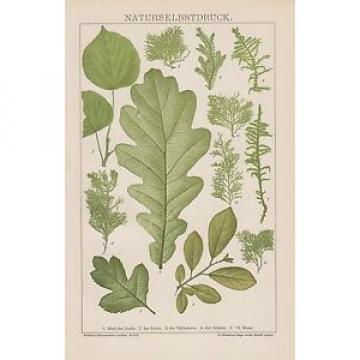 NATURSELBSTDRUCK Typographica naturalis Linde Eiche Schlehe Weissdorn LITHO 1895