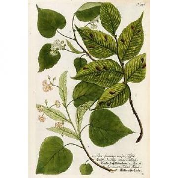 LINDE - Linde. Kleinblätterichte Linde - Weinmann - Kupferstich koloriert 1742