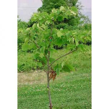 Sehr Nützlich Linde Baum - Frische Samen