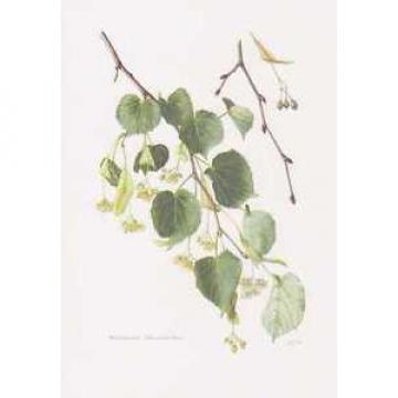 Winter-Linde - Tilia cordata Farbdruck von 1958 Stein-Linde