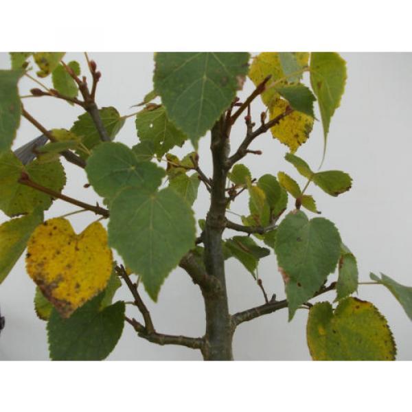 Bonsai-Winter-Linde+Lärche #3 image