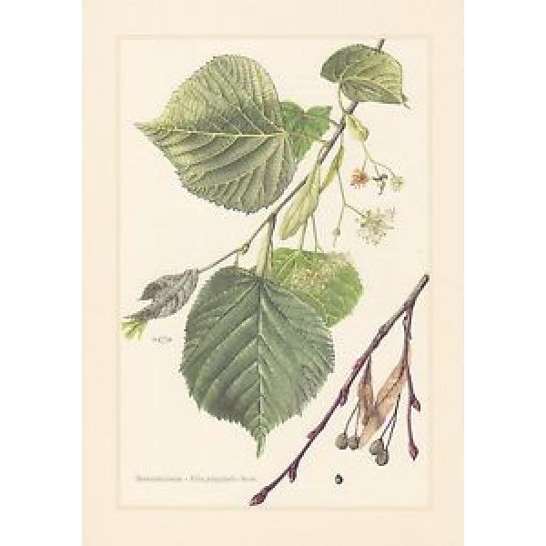 Sommerlinde - Tilia platyphyllos Farbdruck von 1958 Großblättrige Linde #1 image