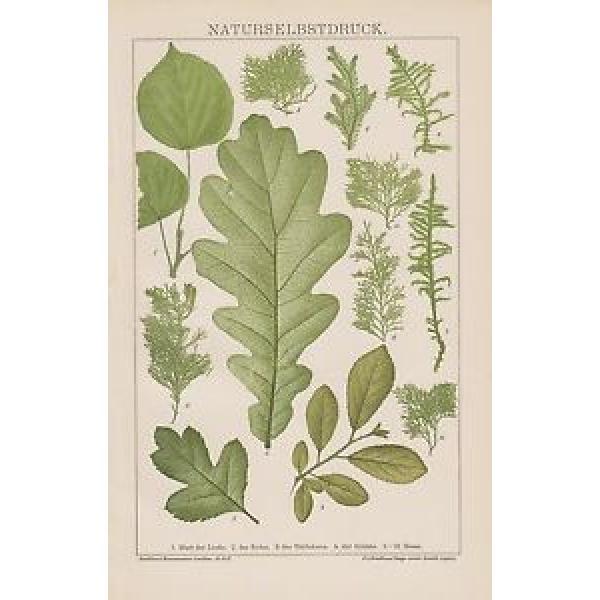 NATURSELBSTDRUCK Typographica naturalis Linde Eiche Schlehe Weissdorn LITHO 1895 #1 image